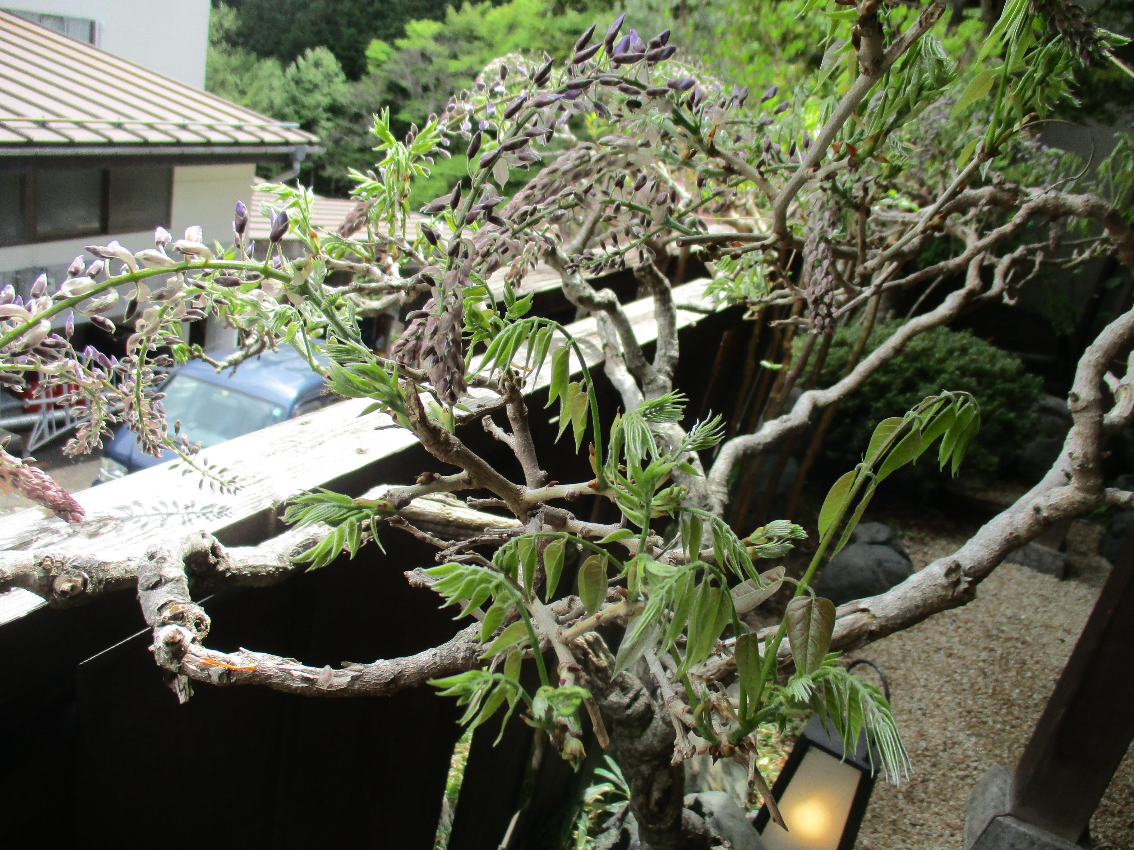 藤の植木鉢